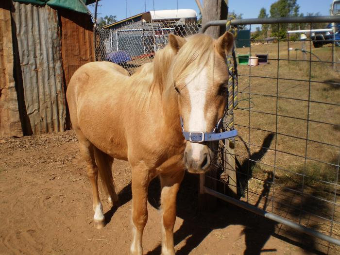 Palomino Welsh A Stallion