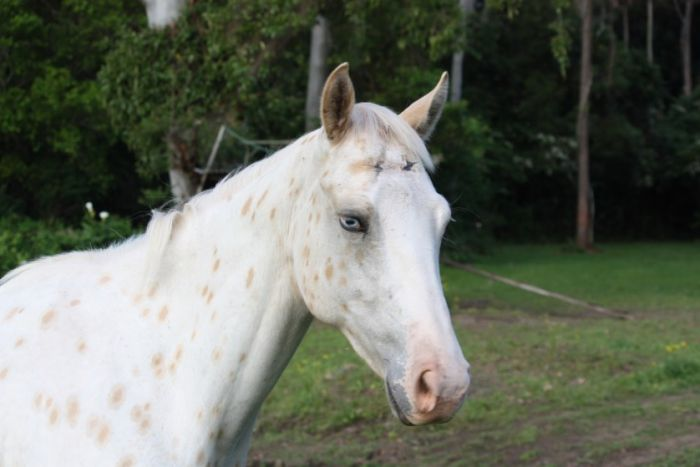 3yr old Appaloosa gelding - Cayuse a Perfect Few