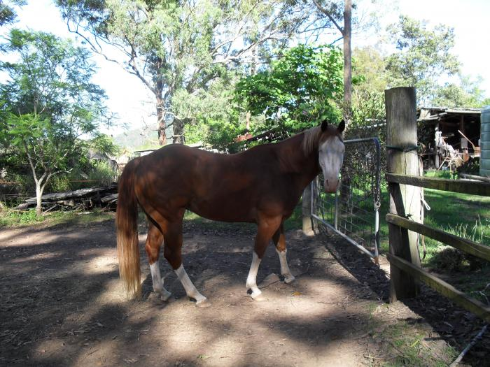 Paint gelding 6 years over 15hh