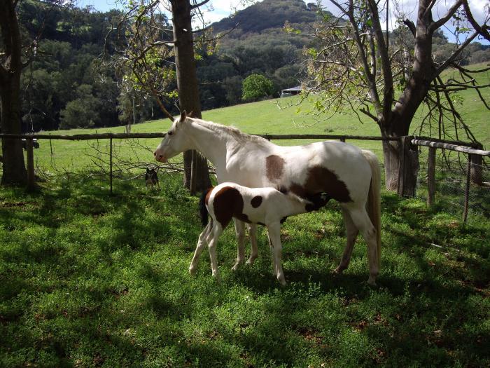 Registered pint mare