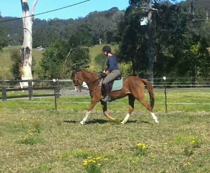 Arab x Pony Mare