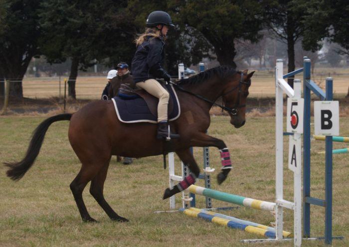 Fantastic Australian Riding Pony Mare