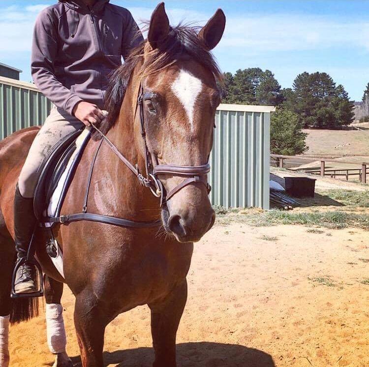 Beautiful Sport Horse Mare
