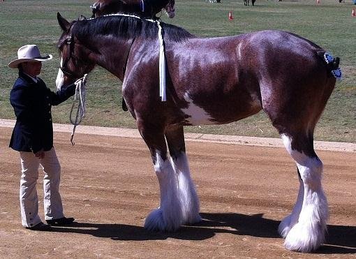 Registered Show Mare