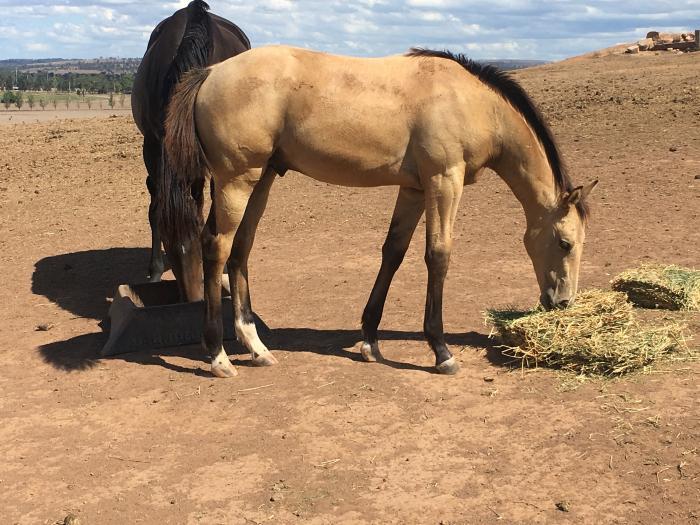 Magnificent buckskin colt