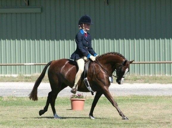 Allrounder pony mare 12.3hh