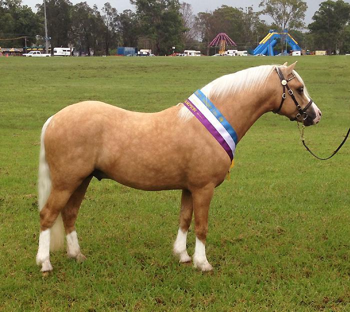Stunning Palomino Welsh Mountain Pony Stallion