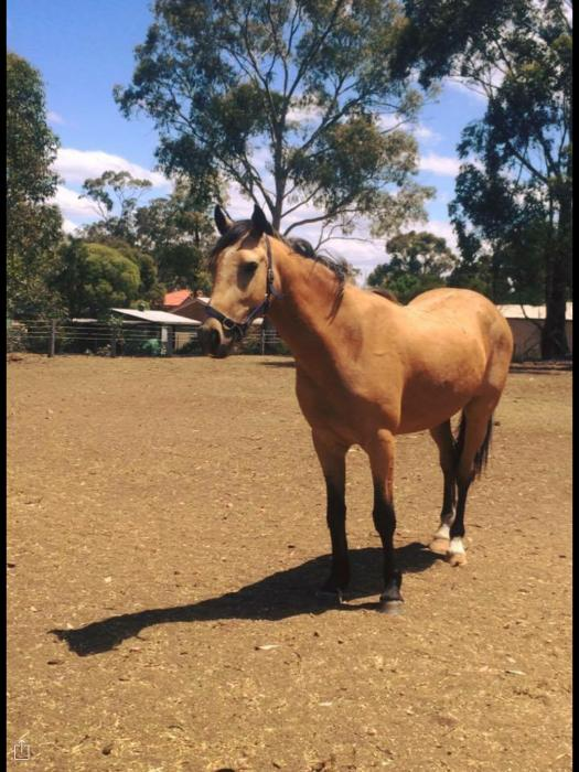 Clydie x QH. Needs new home urgently.