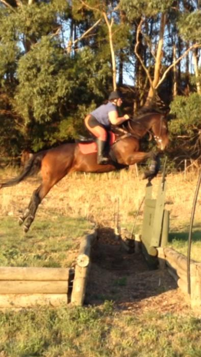 Safe & Experienced TB Gelding