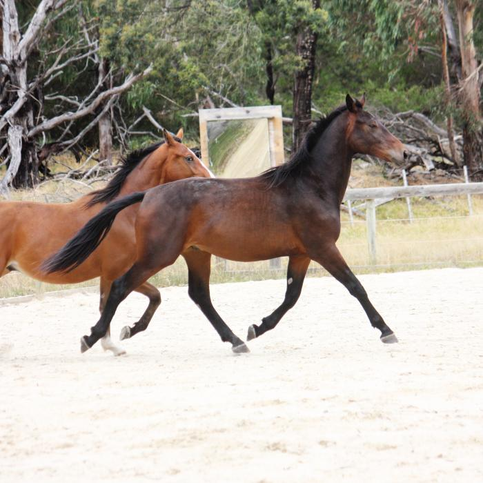 2yo Don Gold gelding