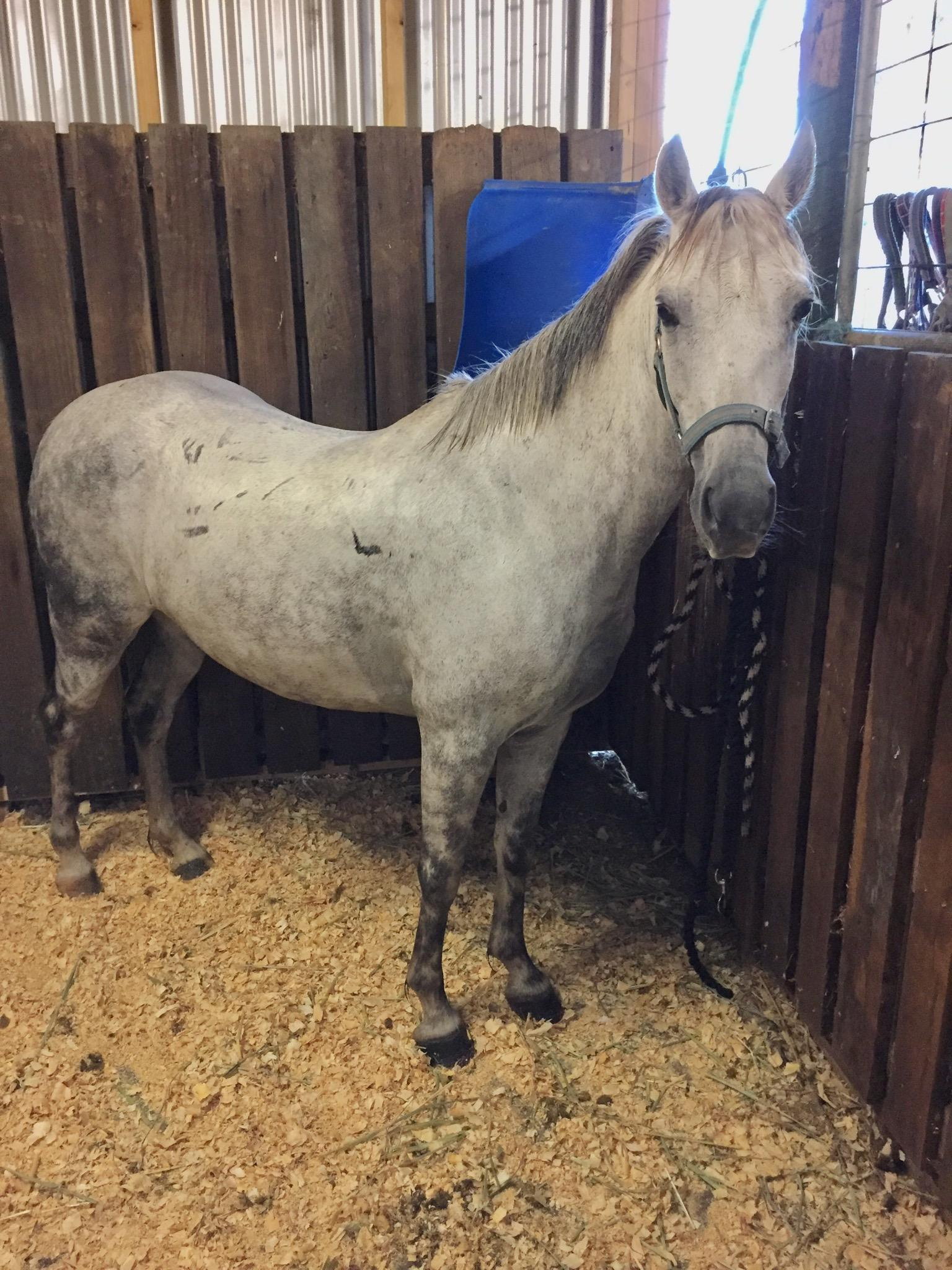 Dapple Grey Mare For Sale