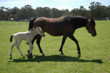 Arabian mare in foal to Cremello Stallion. REDUCED