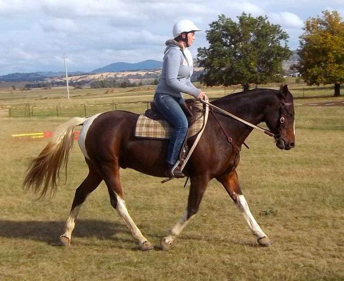 """Scout"" Pinto QH x 15hh 5yr gelding"
