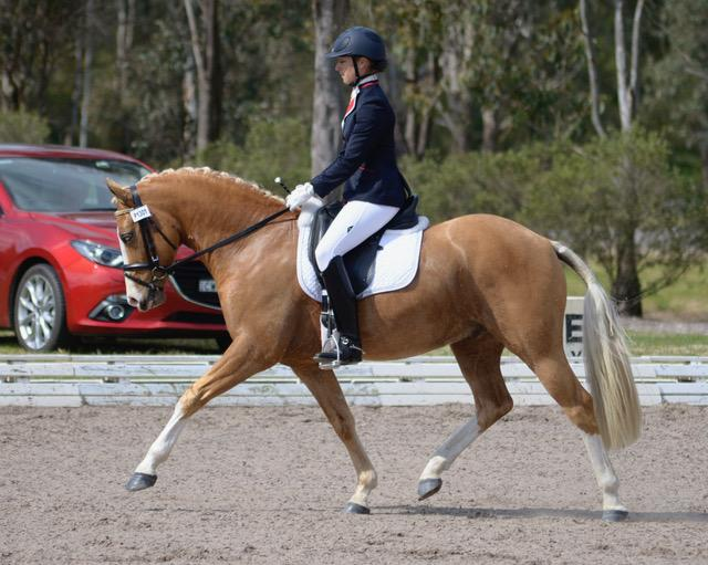 Outstanding German Riding Pony For Sale