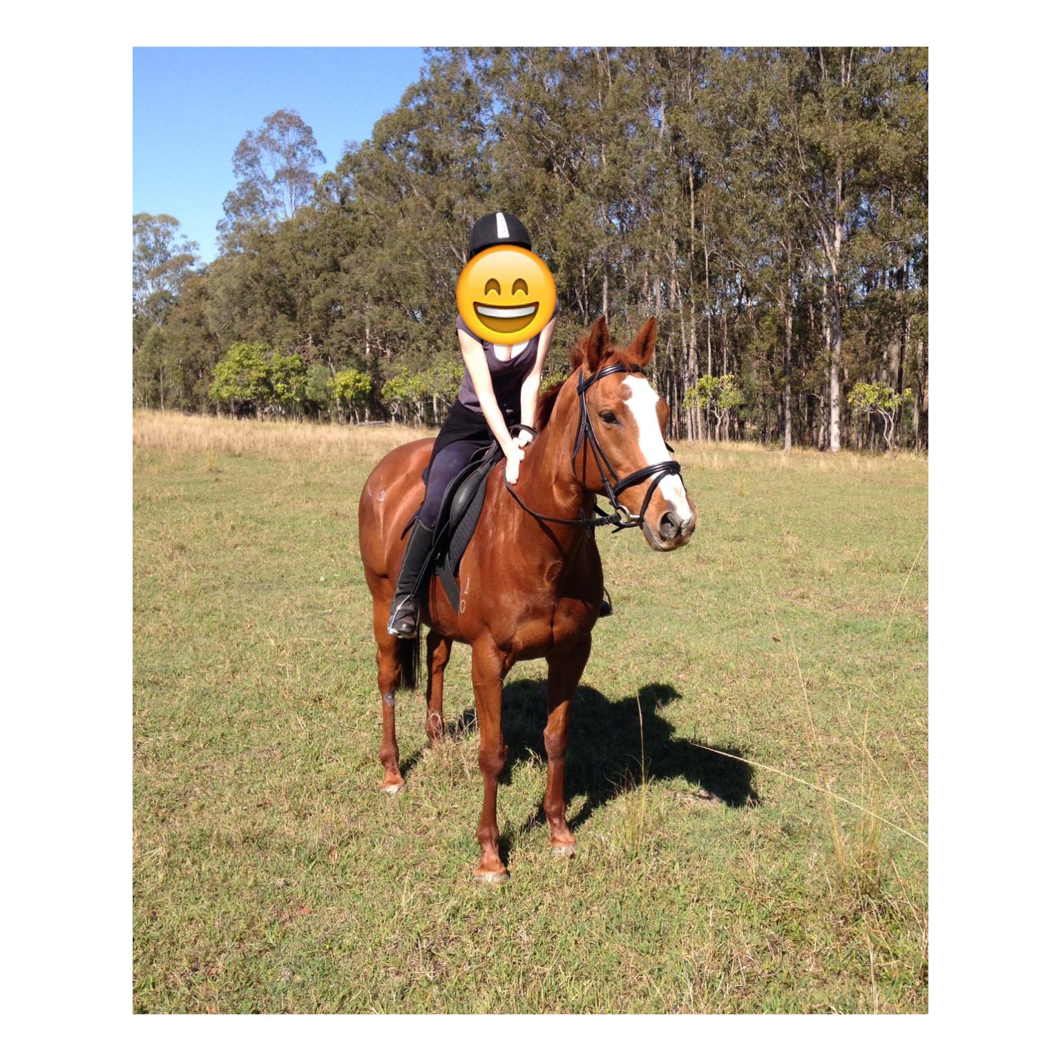 Australian stock horse Mare