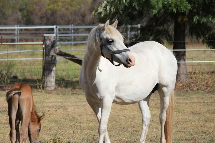 Mithril Charlotte Welsh B Broodmare with Colt foal