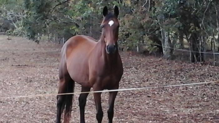 Registered ASH mare