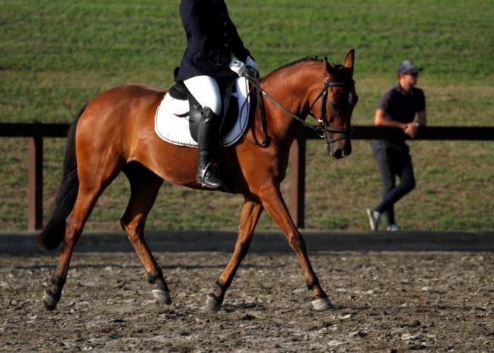 Eventing Show Jumping Pony Australian Stock Horse