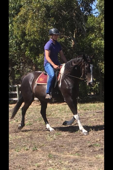 Clydie Thoroughbred Stock horse cross mare