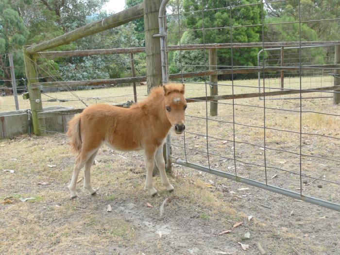 "Miniature Pony,Tiny Chestnut Filly, 17"" 22/10/15."