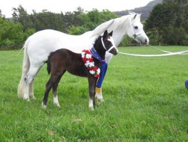 Dam Dalgangle Snowbell Sydney Royal Champ & Bellingara Showgirl NSW All Welsh Sup Foal