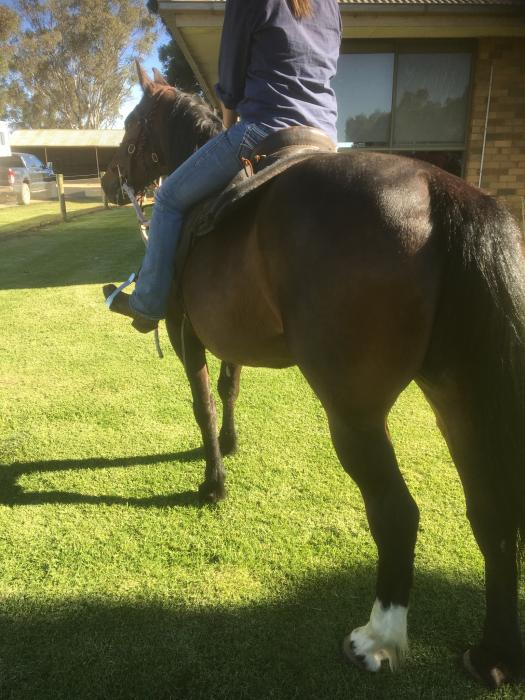 Clydie cross QH Gelding