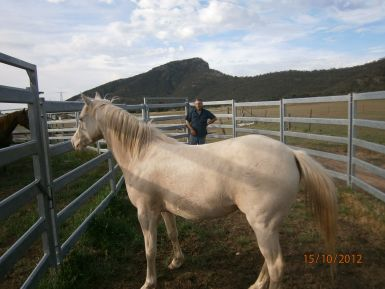 Cremello Filly Side View