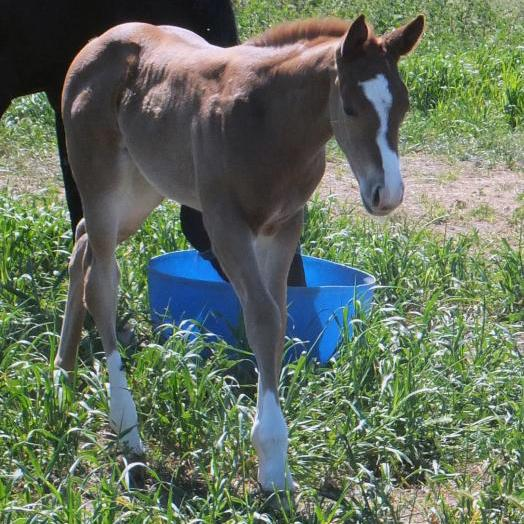 Flashy Chestnut Paintbred filly