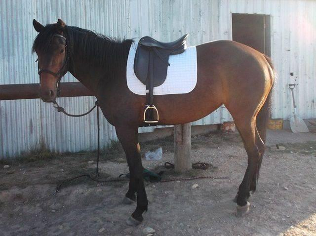 For sale or possible lease show quality ASH mare