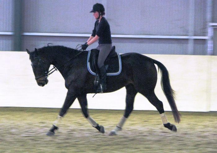 Smart and Personable Warmblood Gelding