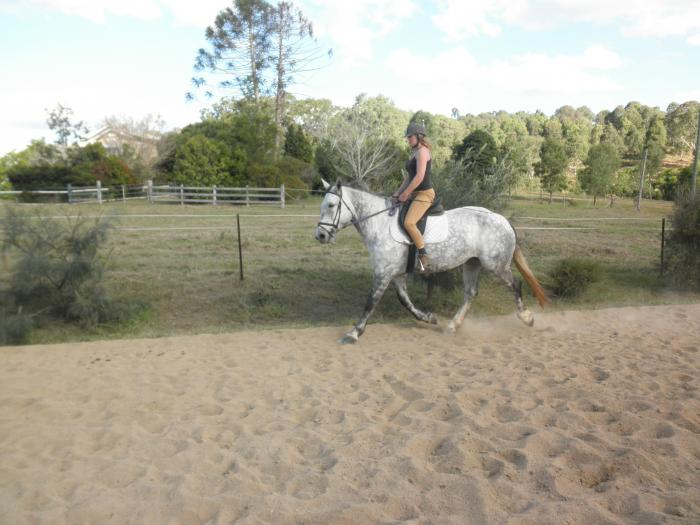 Beautiful Sound Sensible Percheron Warmblood Mare