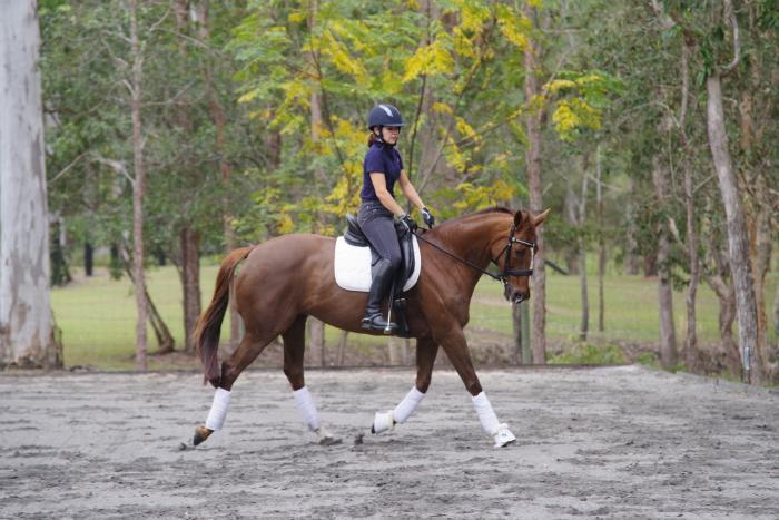 Elementary/Medium Dressage Horse