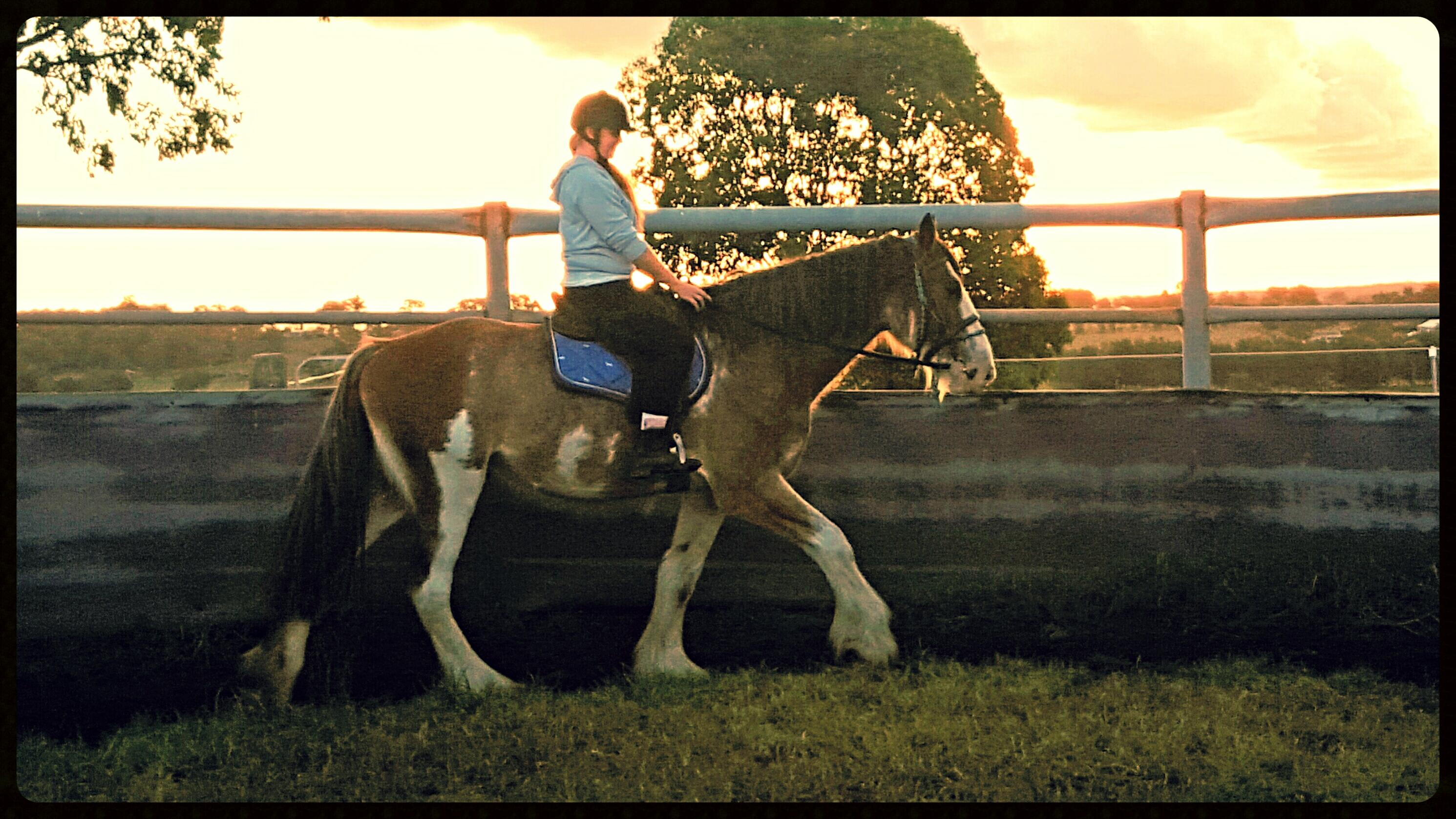Clydesdale x Shire Gelding