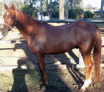 Unbroken Chestnut Riding Pony