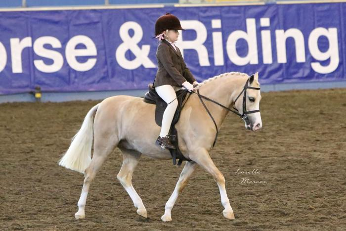 Top Quality Show Hunter Pony Welsh A Gelding