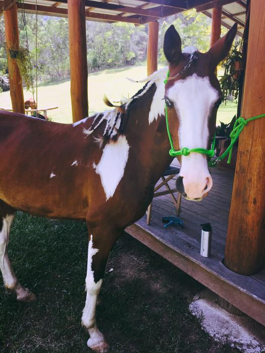Clydesdale x Stock X Filly