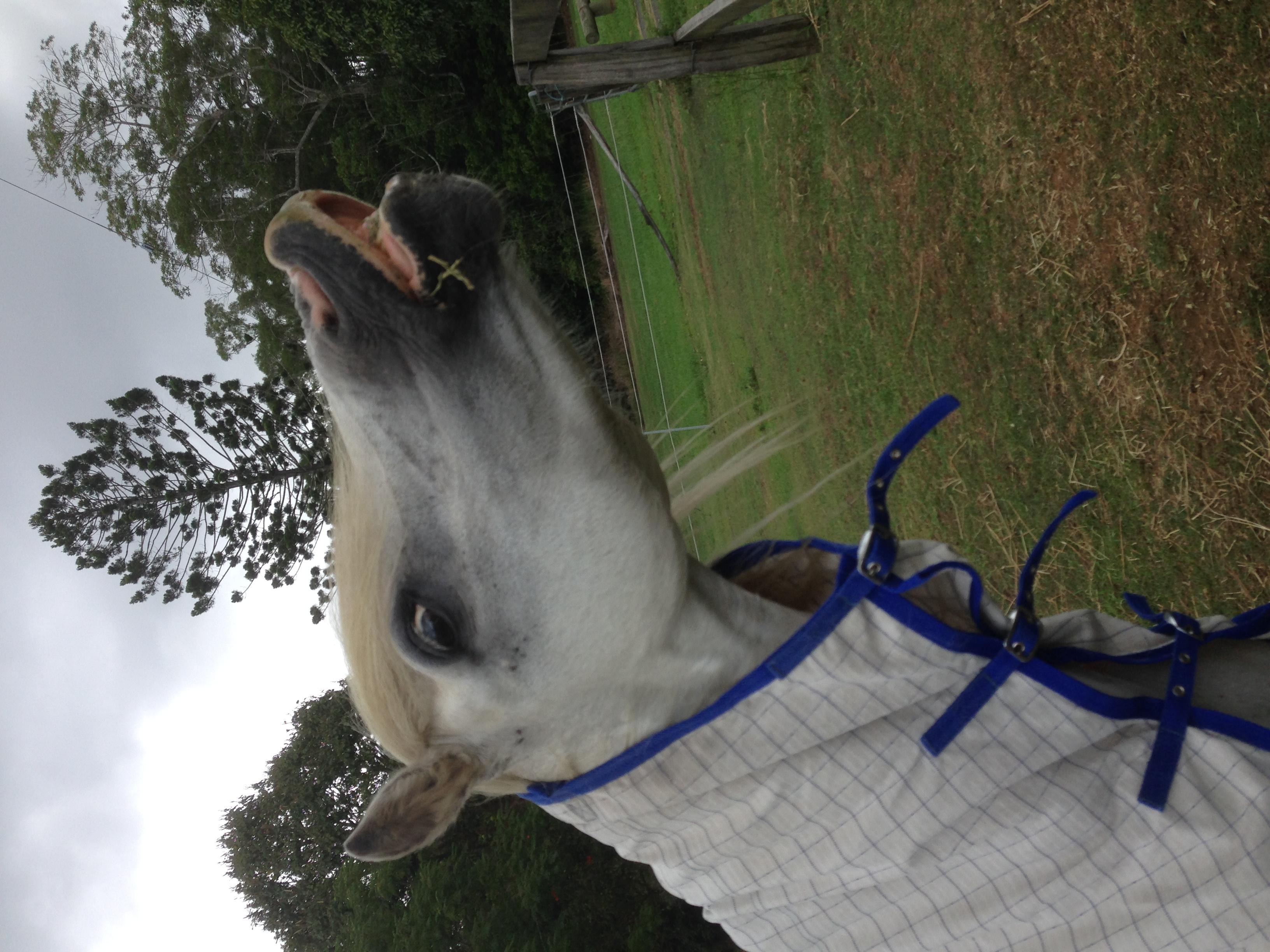 QUIET WELSH MOUNTAIN PONY ALL-ROUNDER