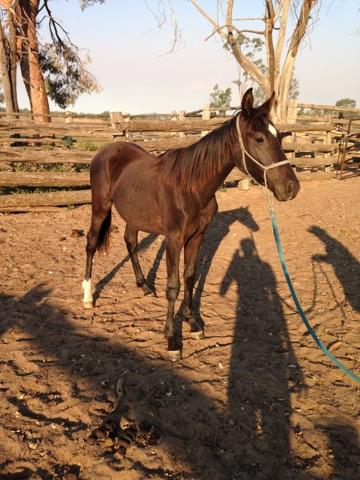Processor - 1Yr Old Black Gelding