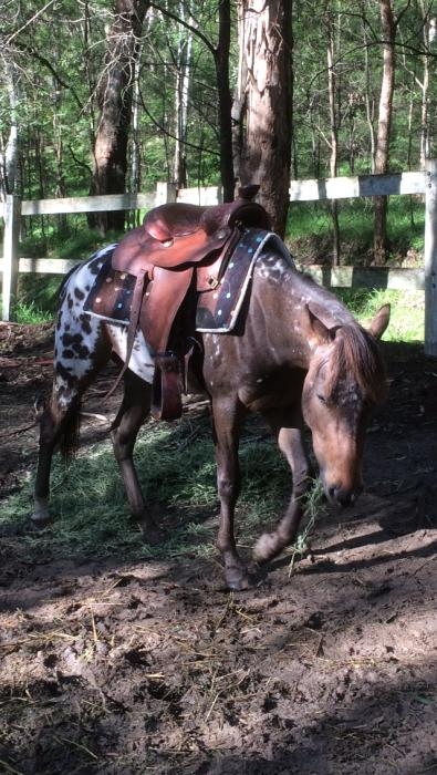 Appaloosa Horse for sale
