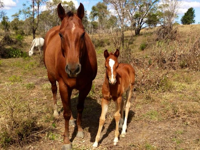 Quarter Horse mare with foal at foot