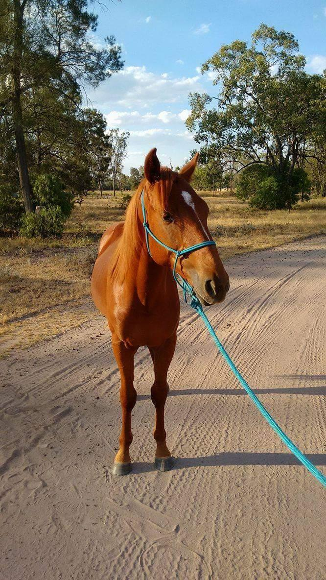Stockhorse colt