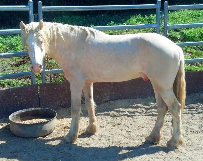Stunning Cremello Welsh D 8yo 14.3HH stallion