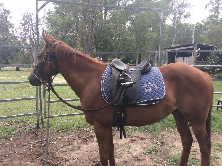 GELDING HORSE FOR SALE NO VICES