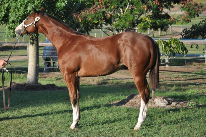 BEAUTIFUL YOUNG PAINT STUD COLT