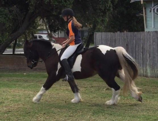 3/4 Gypsy Cob , pony club, jumping, working equita