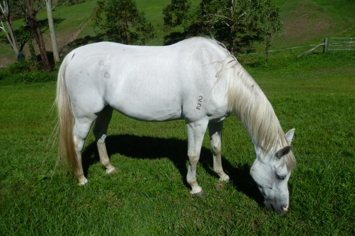 Reg. Gentle Arabian Gelding 14.3hh 13yr old