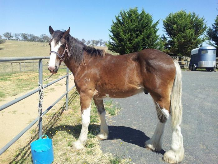 Beautiful Reg. Clydesdale Gelding