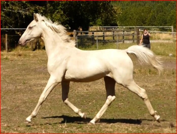Gold Champagne Arabian derivative yearling gelding