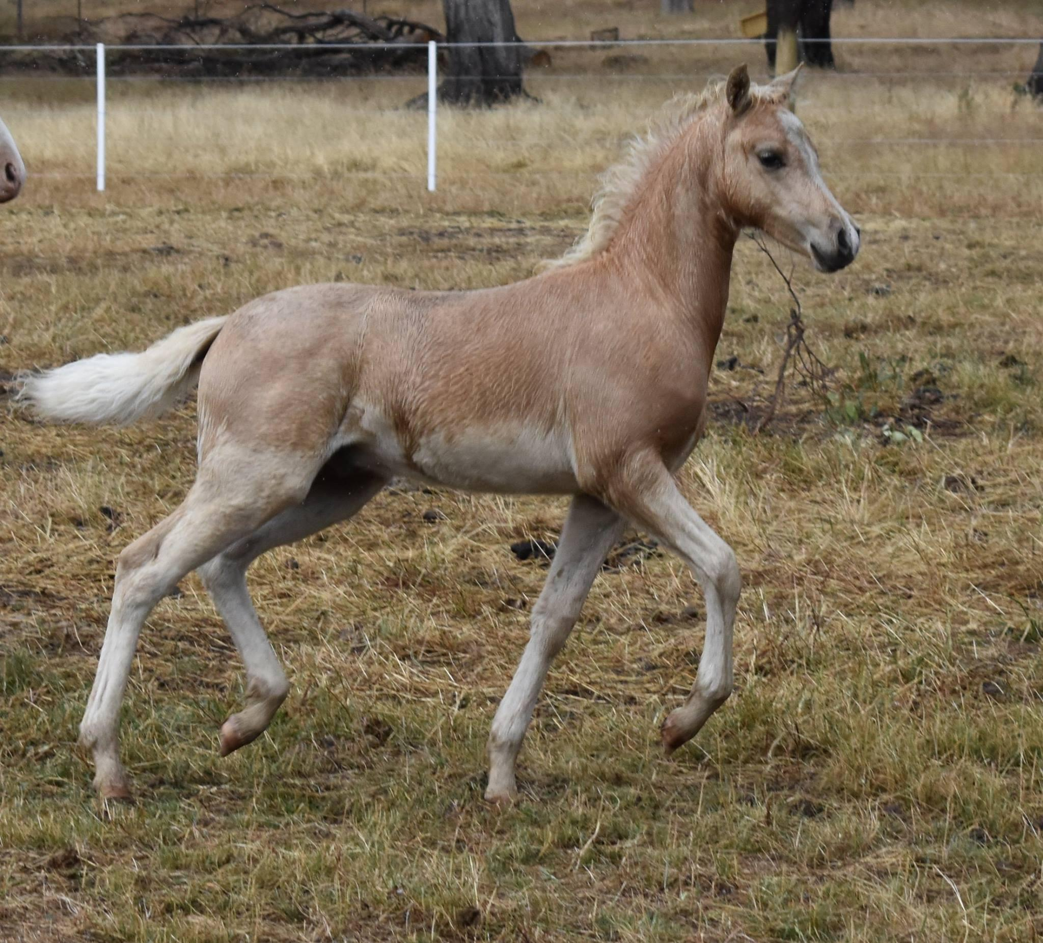 Flashy Palomino Welsh B colt