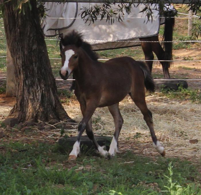 REGISTERED WELSH A FILLY